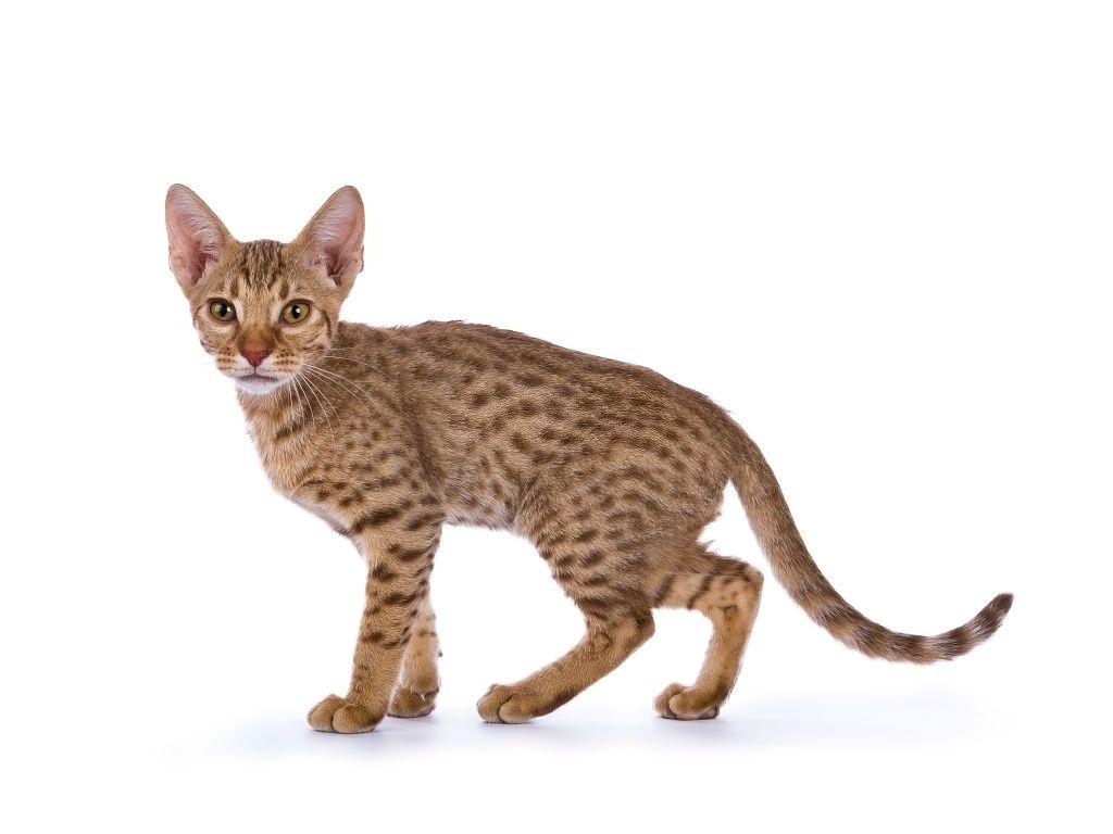 Jenis-jenis Kucing Ocicat