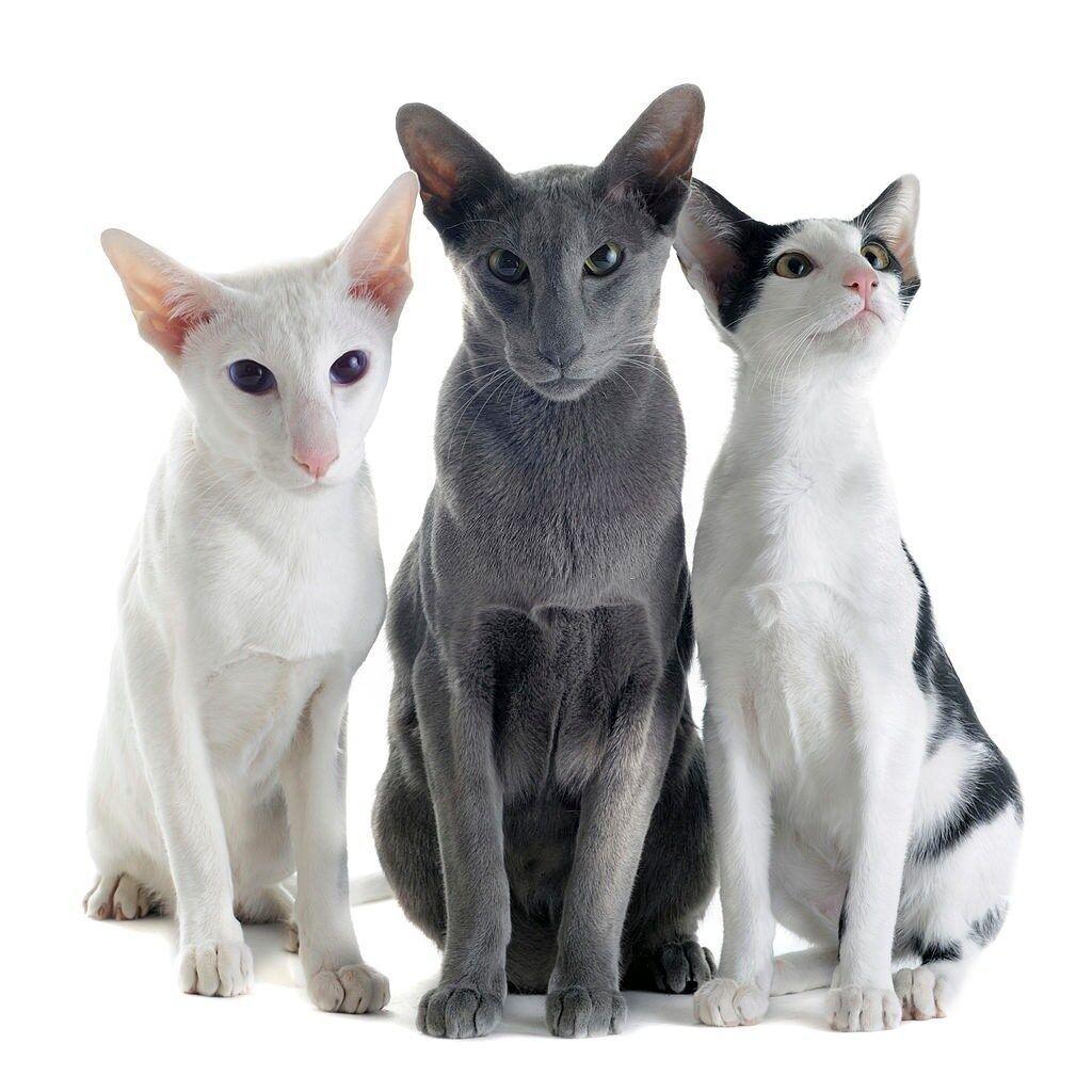 Jenis-jenis Kucing Oriental Shorthair