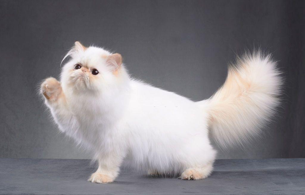 Jenis-jenis Kucing Persia