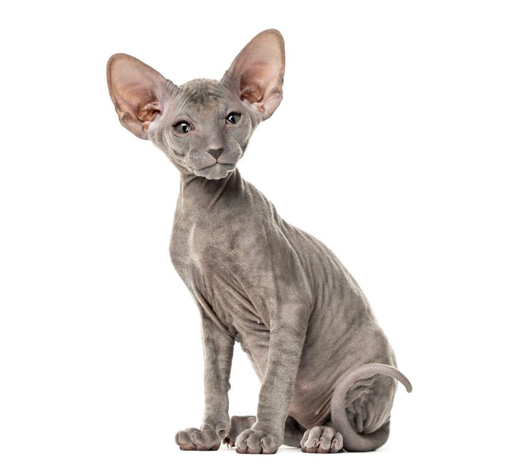 Jenis-jenis Kucing Peterbald