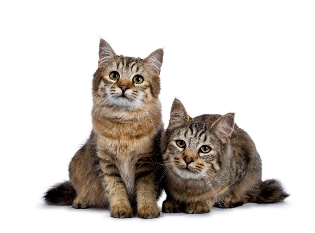 Jenis-jenis Kucing Pixie Bob
