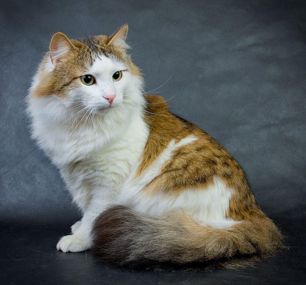 Jenis-jenis Kucing Ragamuffin