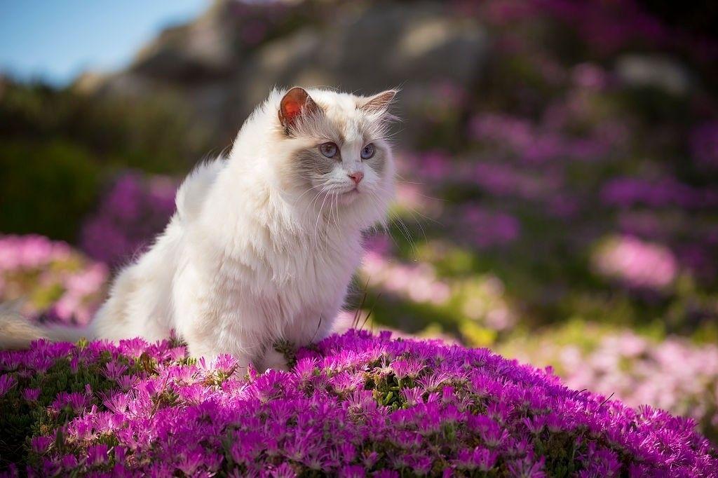Jenis-jenis Kucing Ragdoll