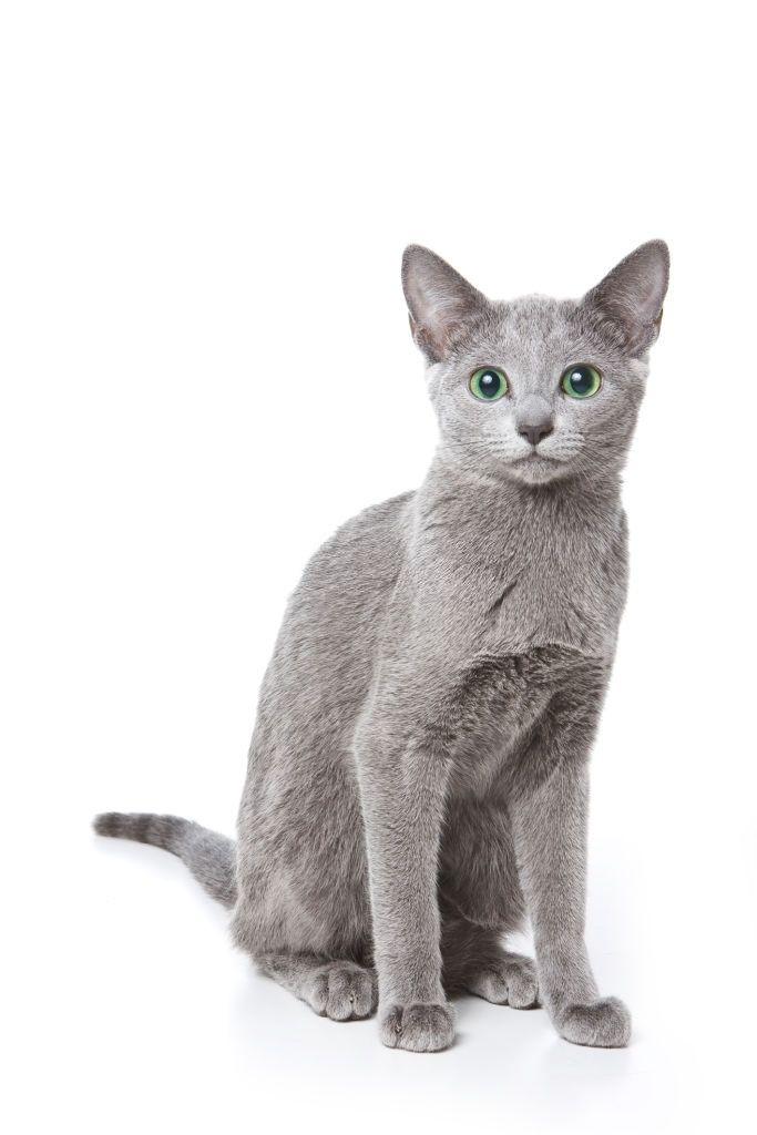 Jenis-jenis Kucing Russian Blue