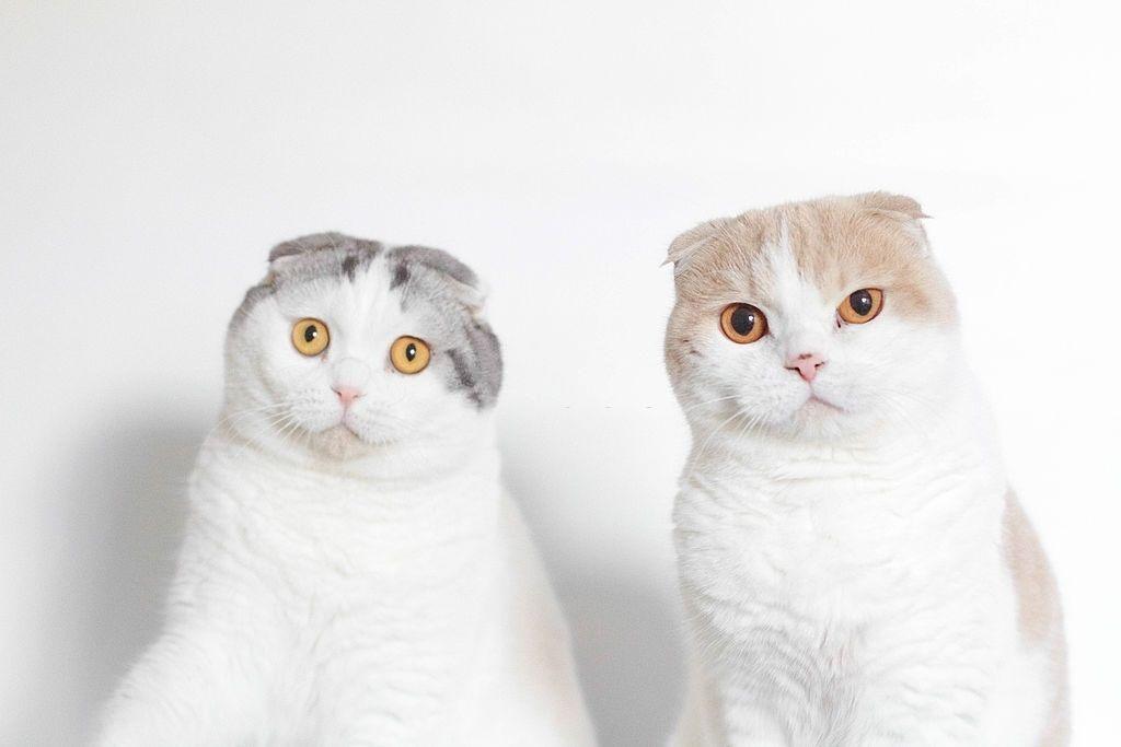 Jenis-jenis Kucing Scottish Fold