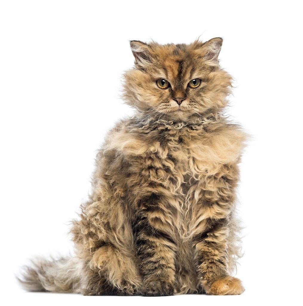 Jenis-jenis Kucing Selkirk Rex