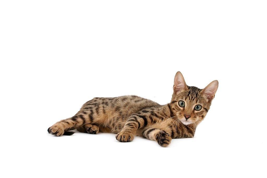 Jenis-jenis Kucing Serengeti