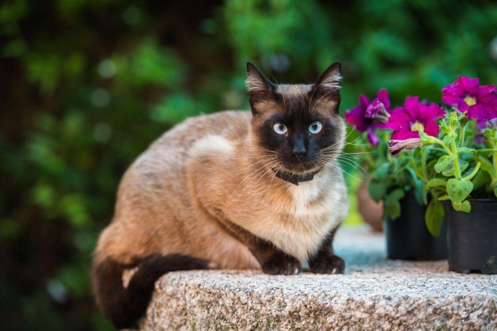 Jenis-jenis Kucing Siam