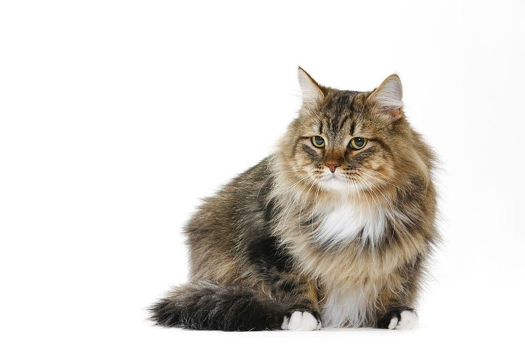 Jenis-jenis Kucing Siberia