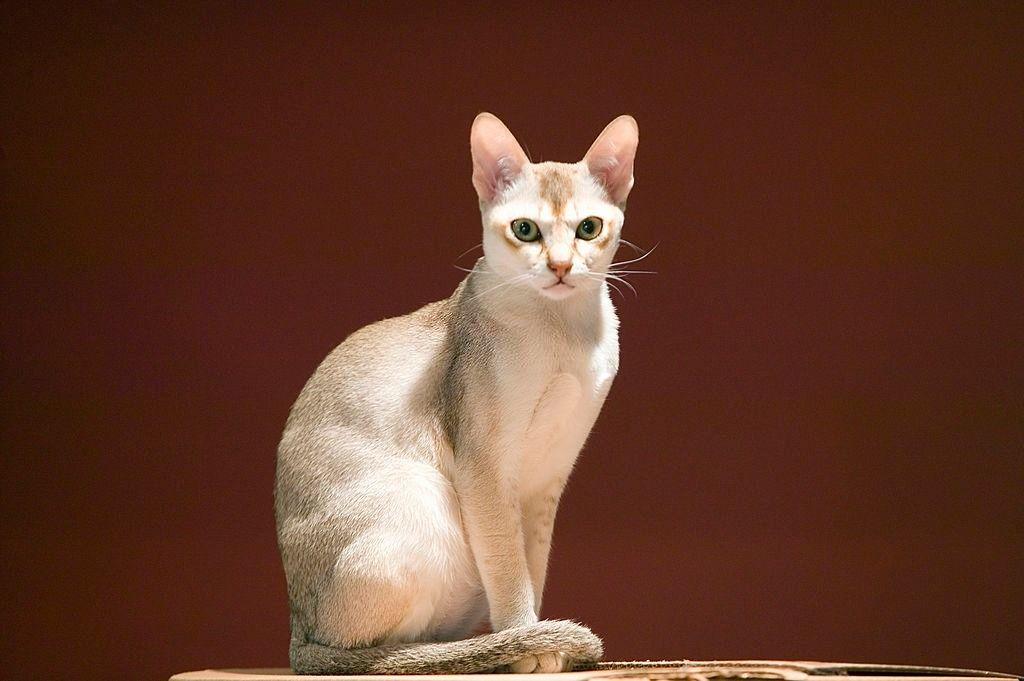 Jenis-jenis Kucing Singapura