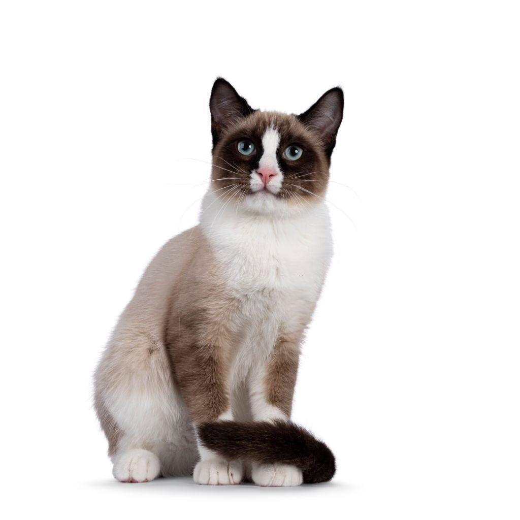Jenis-jenis Kucing Snowshoe