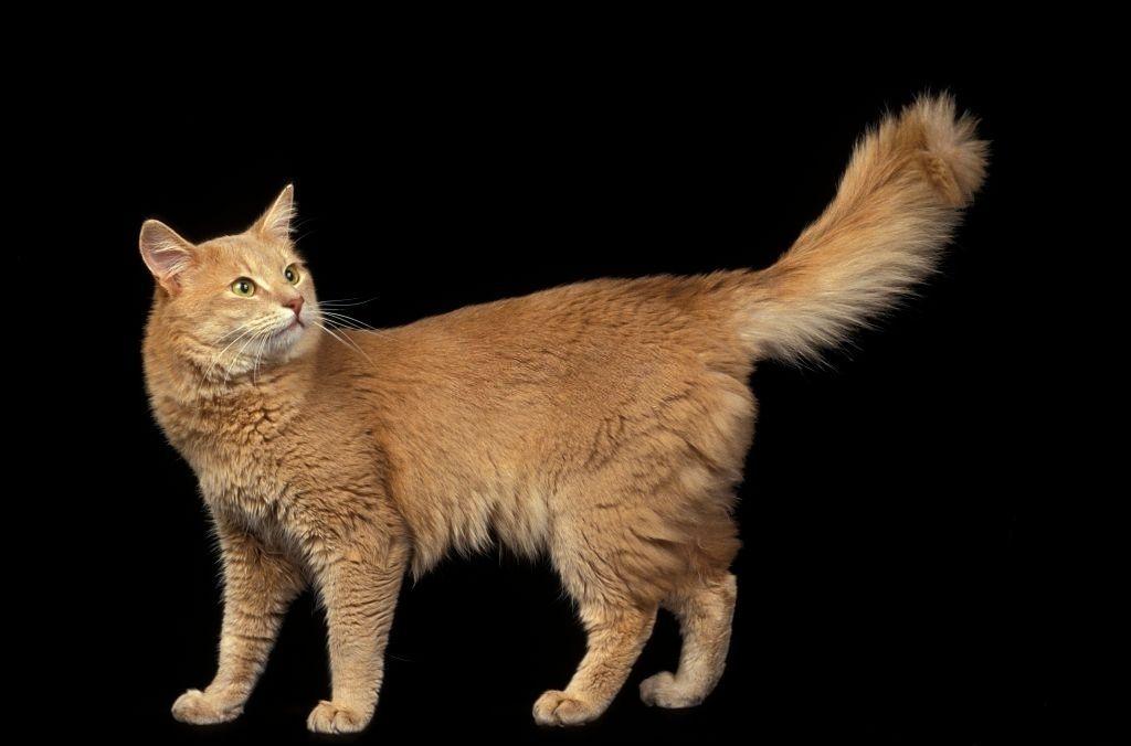 Jenis-jenis Kucing Somali