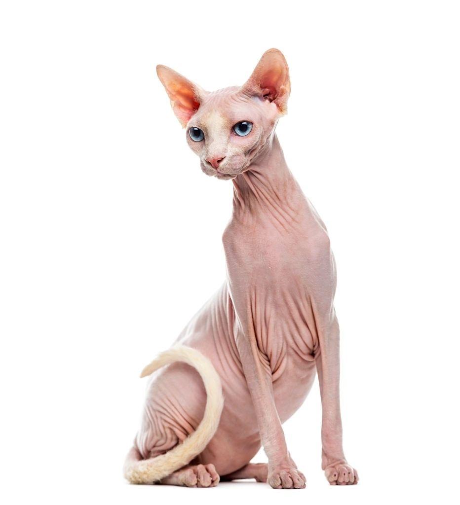 Jenis-jenis Kucing Sphynx