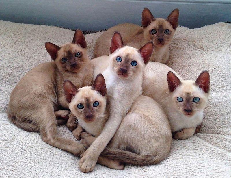 Jenis-jenis Kucing Tonkin