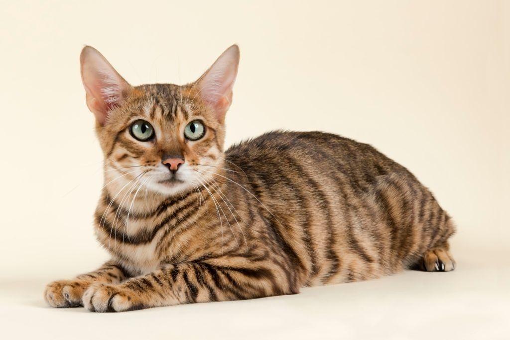 Jenis-jenis Kucing Toyger