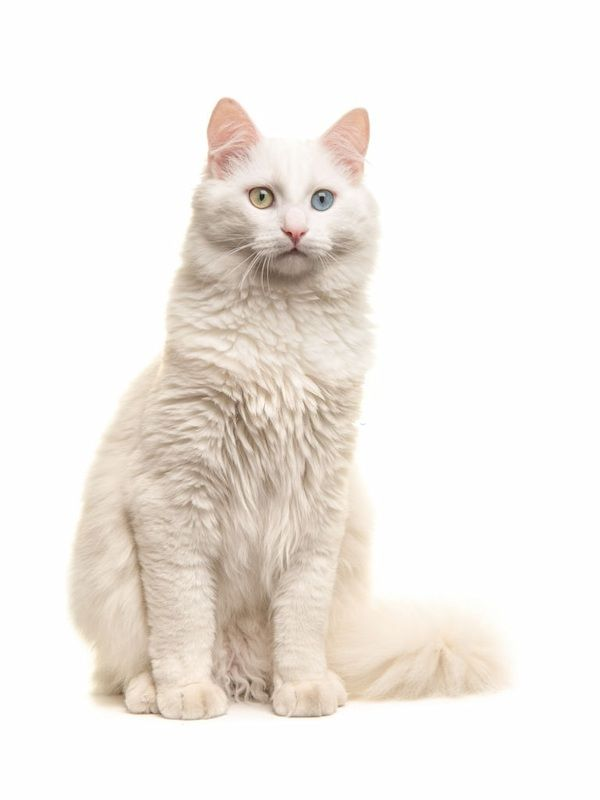 Jenis-jenis Kucing Turkish Angora