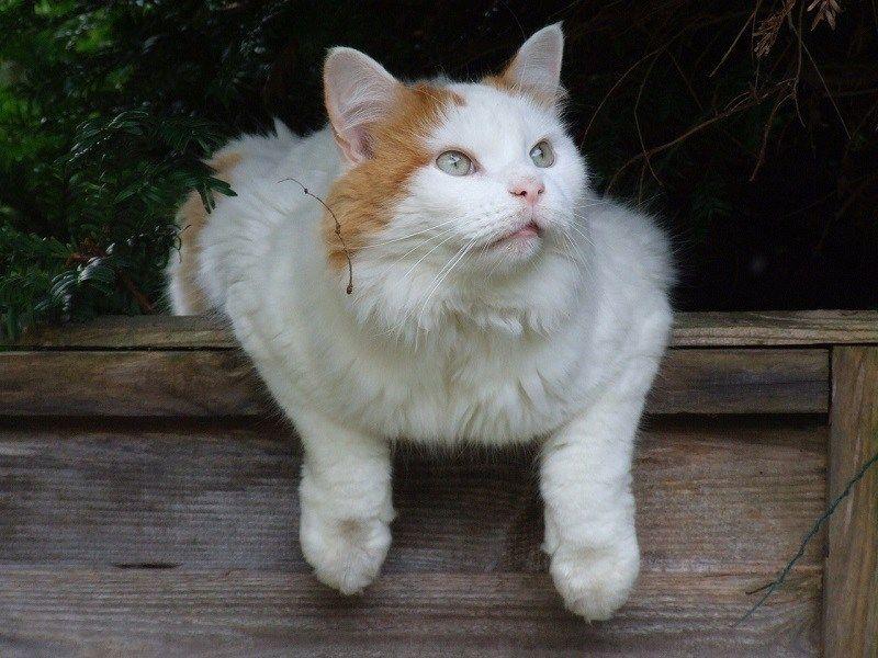 Jenis-jenis Kucing Turkish Van