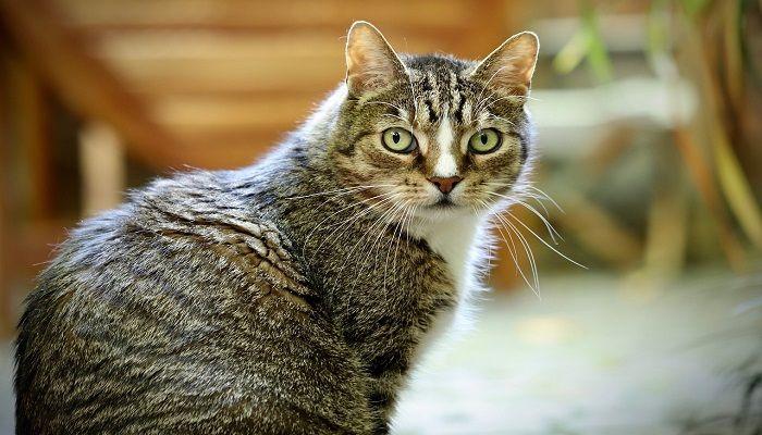 Kucing European Shorthair