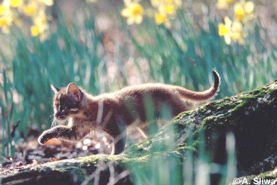 Kucing emas Sumatera