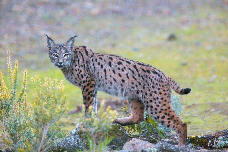 Kucing Lynx