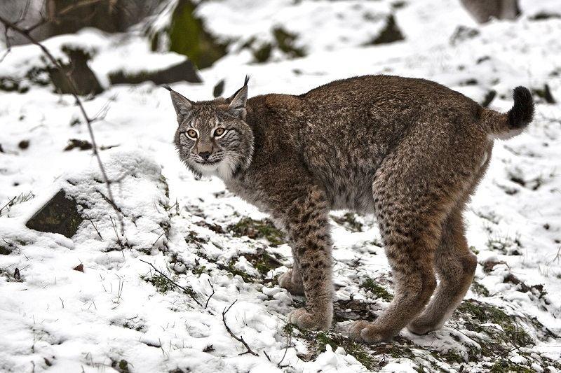 Jenis Kucing Lynx