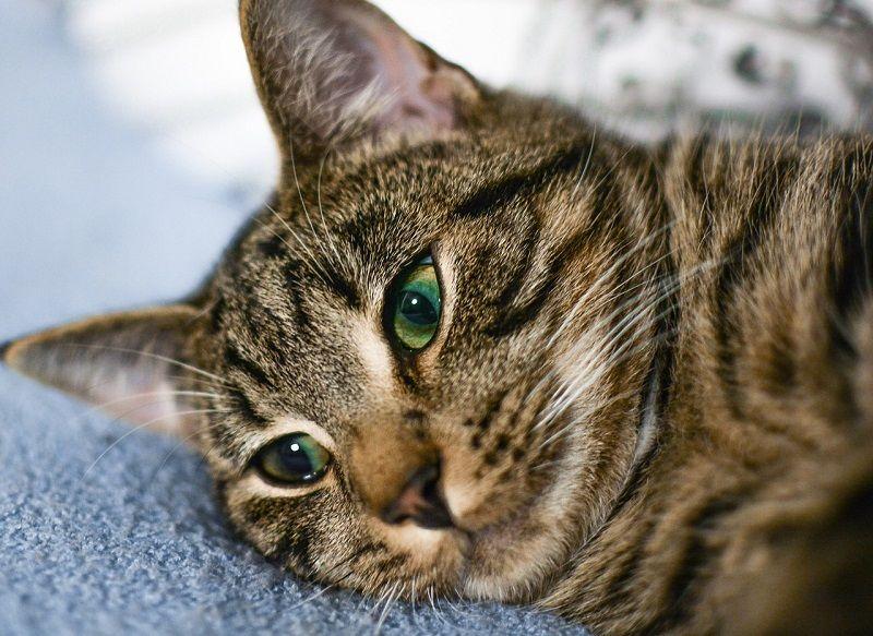 Kucing Tabby Coklat