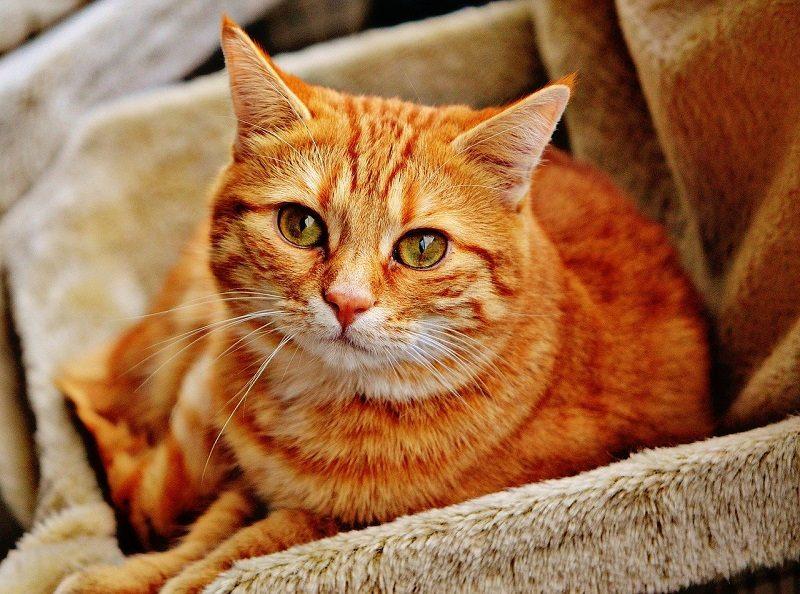Kucing Tabby Orange