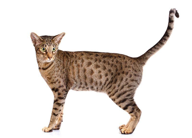Kucing Tabby