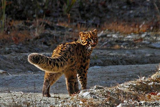 Karakteristik Kucing Batu