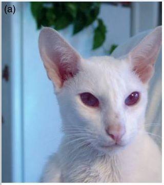 Kucing Albino