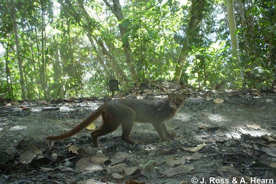 Kucing Merah Kalimantan