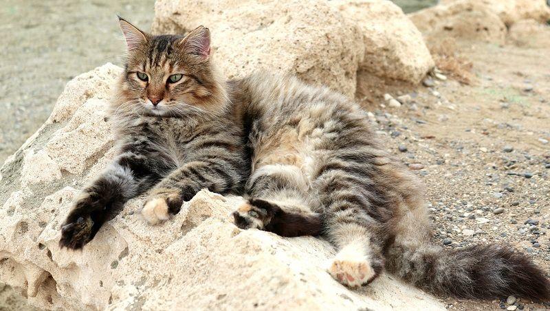 Kucing Moggy