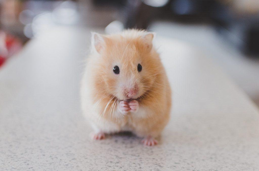 A contrite hamster Photo by Ricky Kharawala on Unsplash