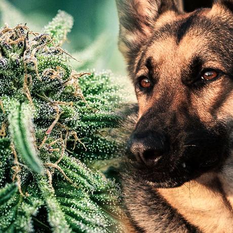 K9s In Virginia Will No Longer Look For Weed