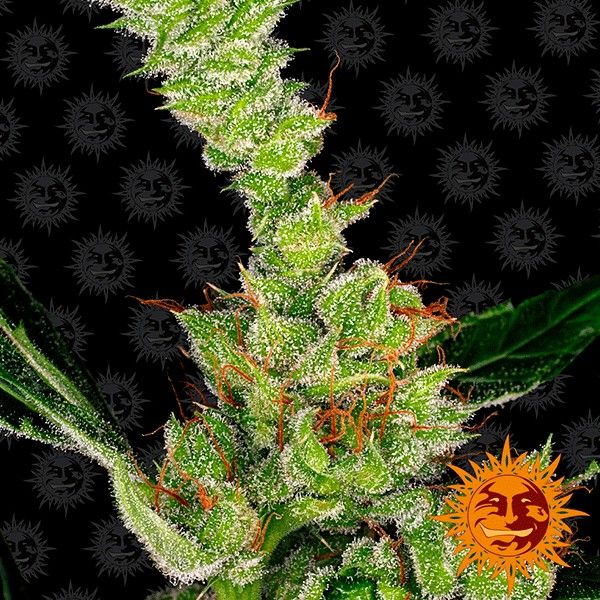 Dr. Grinspoon strain from Barney's Farm.