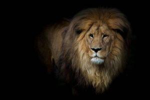 lion dp