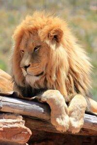 lion whatsapp dp