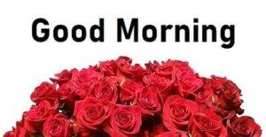 roses good morning pic