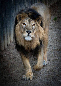 walking lion