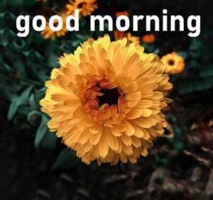 yellow flower good morning pic