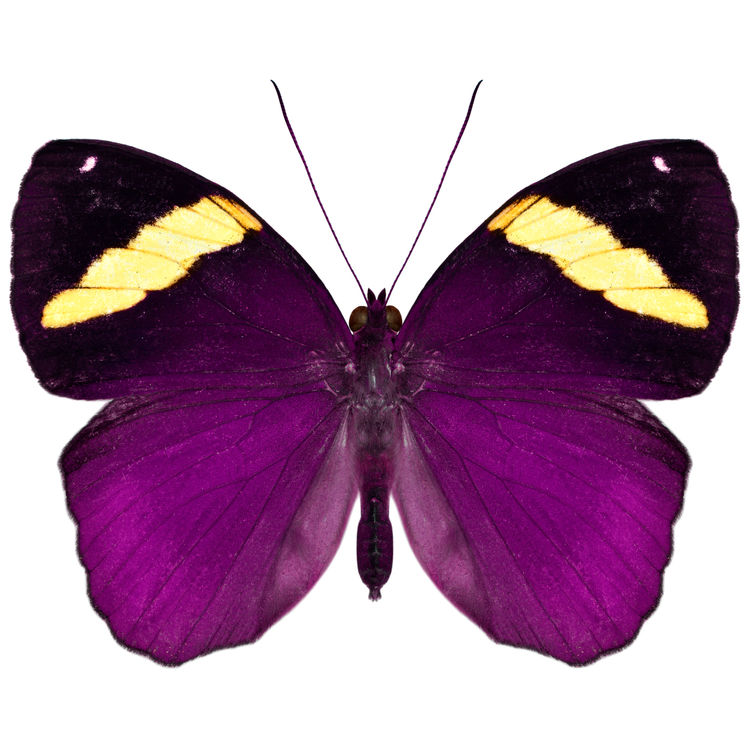 Jasmine, the Butterfly