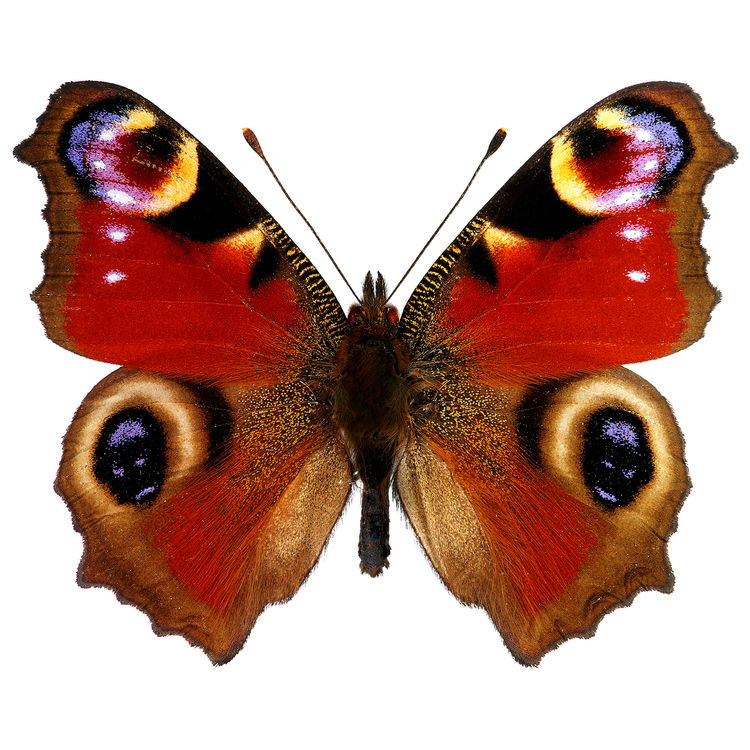Ruby, the Butterfly