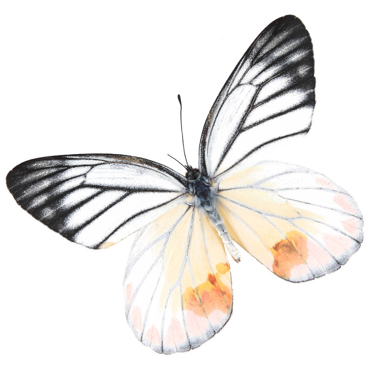 Selena, the Butterfly