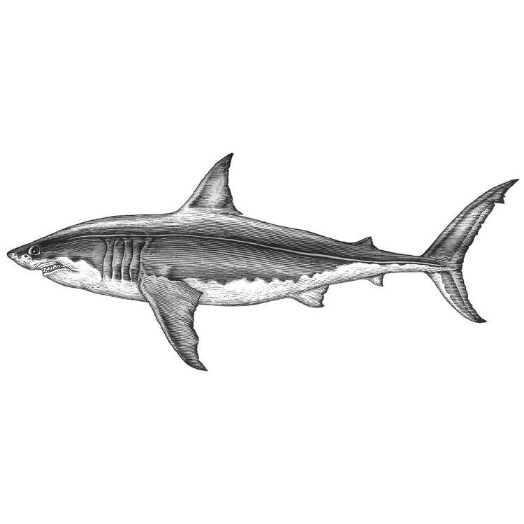 Jimmy, the Gray Shark