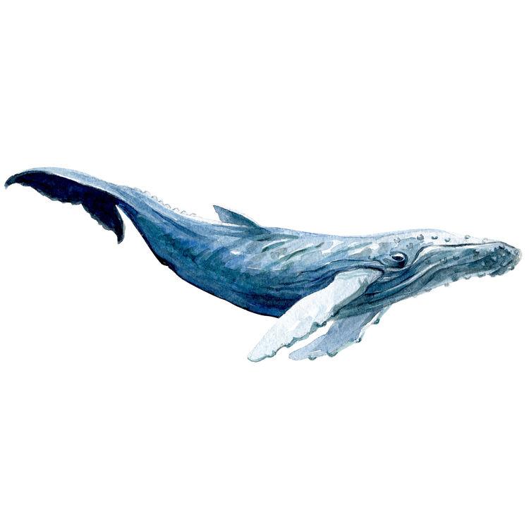 Vincent, the Blue Whale