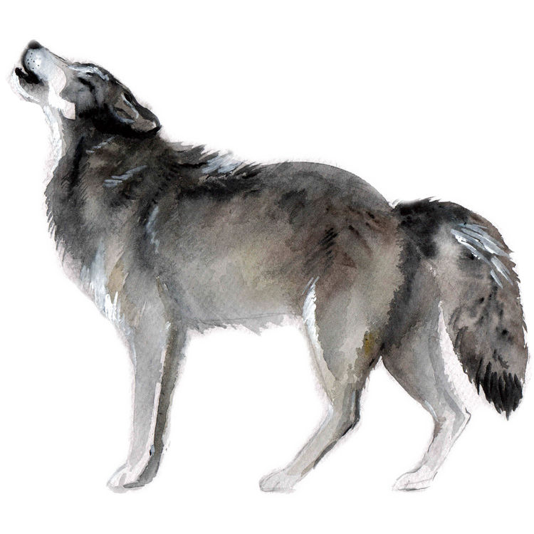 Gray Watercolor Howling Wolf