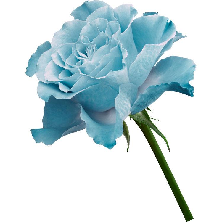 Blue Single Rose