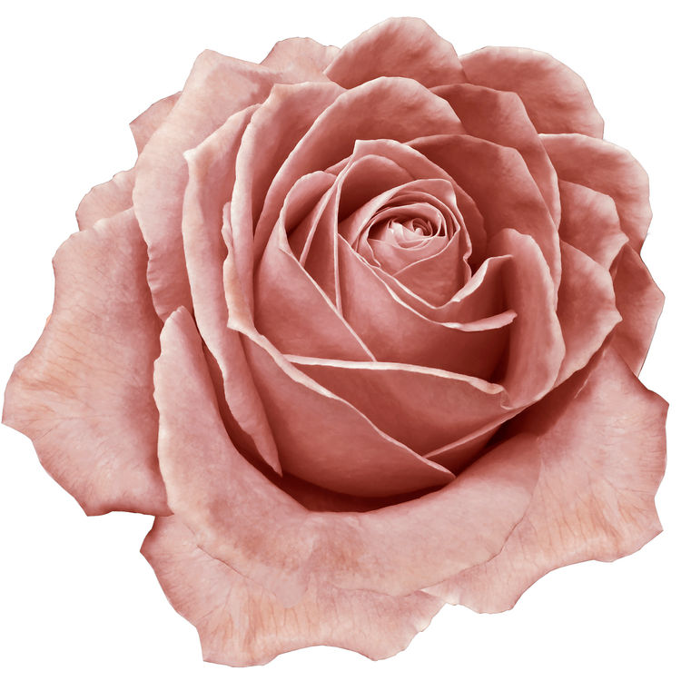Blush Pink Rose
