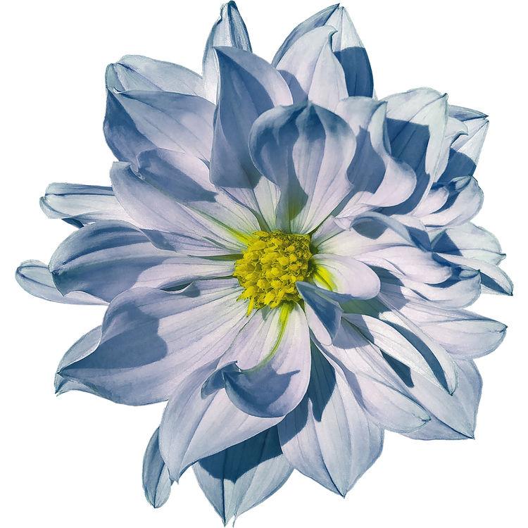 Blue Shadow Dahlia