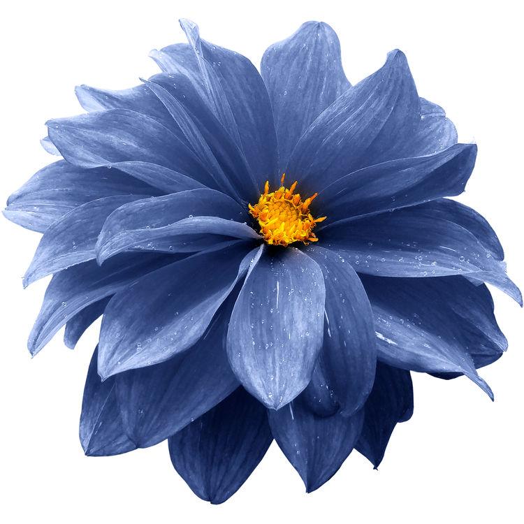 Deep Blue Dahlia